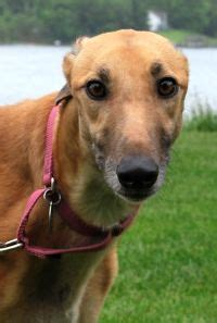 Greyt Expectations Greyhound Rescue Home Page