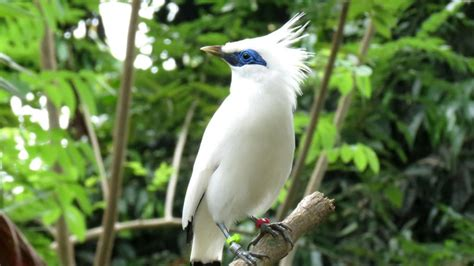Chester Zoo helps Bali starling release project - BBC News