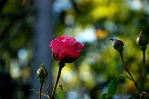 Connie's Tip Sheets: Dealing with Rose Diseases