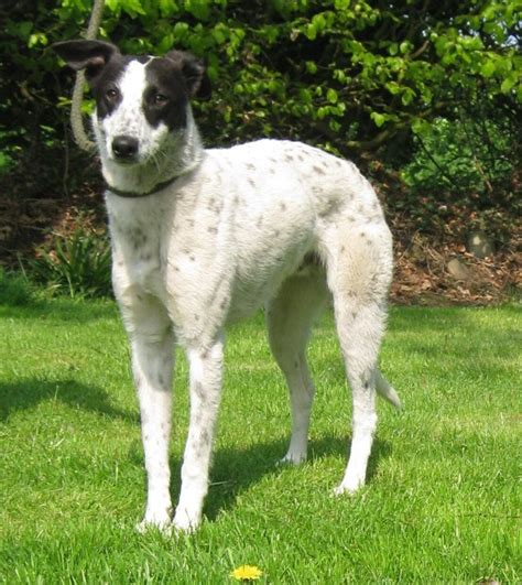 Baxter – 10-12 month old male Border Collie cross Lurcher