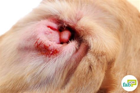 How to Treat Ear Infection in Pets   Fab How