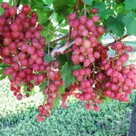 Buy Victoria Red Grape Vines For Sale | Double A Vineyards
