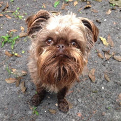 16 Things You Didn't Know About Brussels Griffons - BarkPost