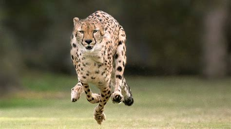 The meaning and symbolism of the word - «Cheetah»