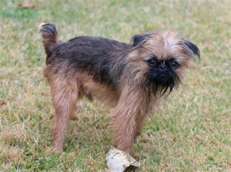 About Dog Brussels Griffon: Is Your Brussels Griffon Potty